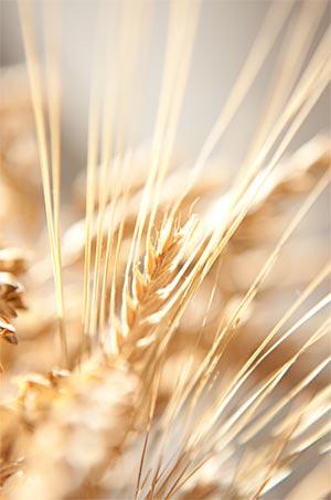 Huile de germe de blé pour cheveux