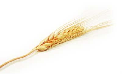 huile germe de blé cheveux est une huile végétale capillaire