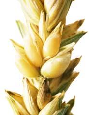 Germe de blé cheveux avec vue détaillée sur l'épi de blé