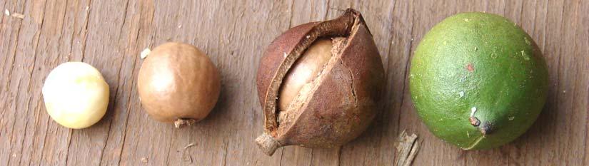 Huile macadamia visage et cheveux extraite des noix de macadamia
