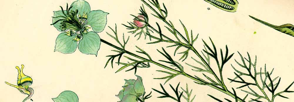 Plante herbacée annuelle de la famille des Renonculacées